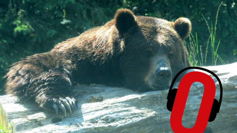 Odpoczywający niedźwiedź