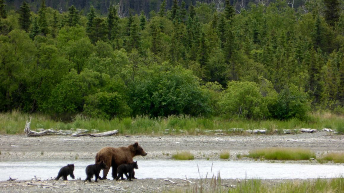 Bear with 3 spring cubs
